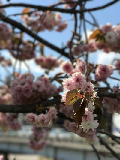 鴨川っ縁。名残りの八重桜。 Cherry Blossoms Kyoto Pink