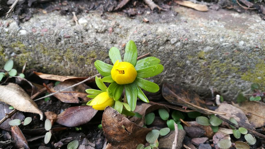 Leaf Nature Growth High Angle View Plant Close-up Outdoors No People Day Beauty In Nature Fragility Winter Aconite Flower Freshness Herald Of Spring Resist
