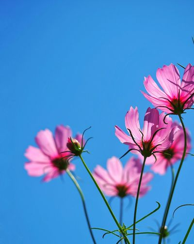 Close-up of pink cosmos flowers against blue sky