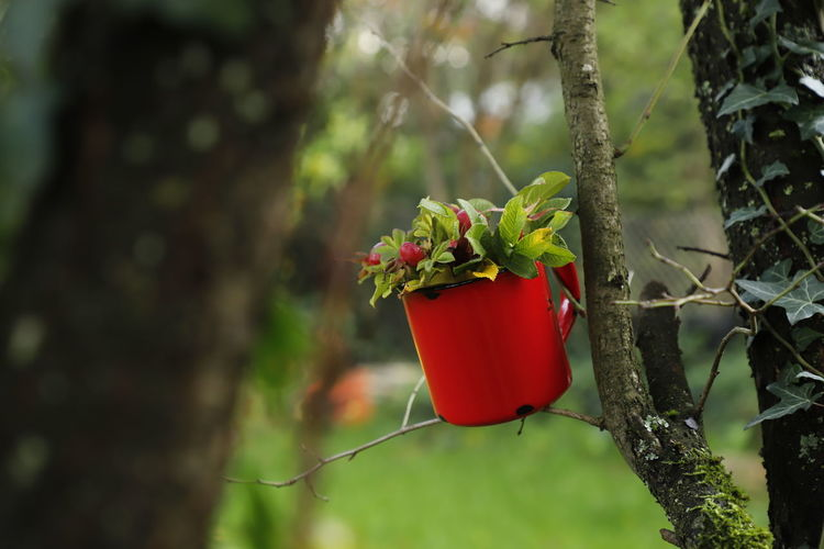 Close-up of red potted plant hanging on tree