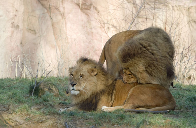 two lions - panthera leo Affectionate Animal Themes Biting Feline Full Length Lion Lion - Feline Lioness Lions Lying Down Majestic Mammal Mane No People Outdoors Pair Panthera Leo Predator Resting Standing Strength Togetherness Two Animals Undomesticated Cat Wildcat