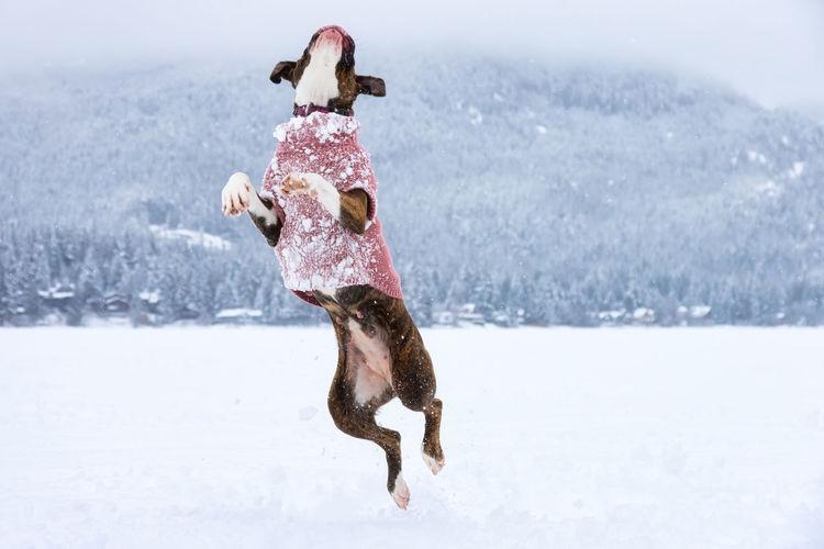 Full length of dog jumping in snow