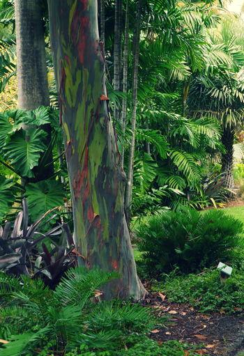Rainbow eucalyptus Treegasmic Tuesday For My Friends That Connect Streamzoofamily TreePorn