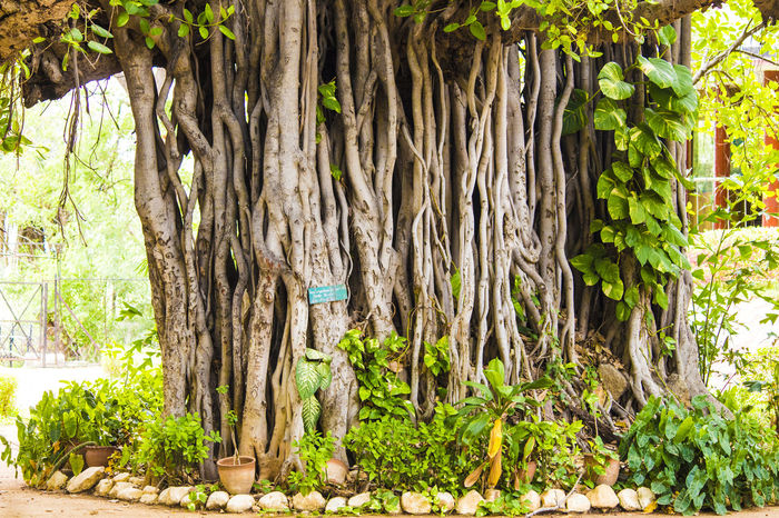 Banyan tree with money plant tree Banyan Tree Banyan Tree Roots Beauty In Nature Forest Green Color Growth Hanging Roots Large Tree Leaf Money Plant On Banyan Tr Money Plants 🌱 Nature Outdoors Root Roots Of Tree Tree Tree Decoration Tree Roots  Tree Trunk