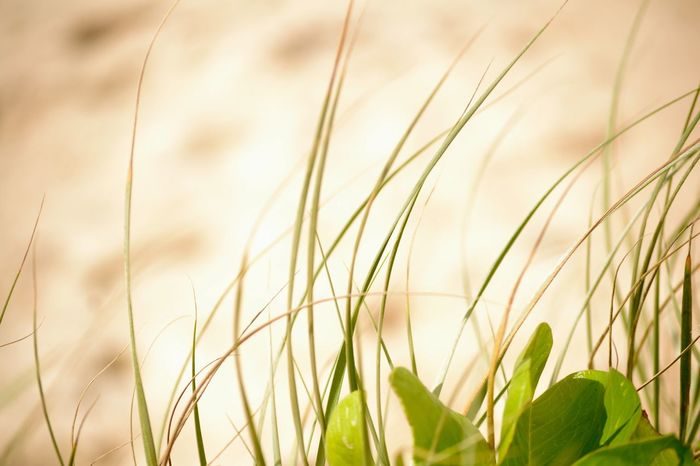 Life in the dunes Nikonphotography Nikon Sand Dune Sand Nature Photography Nature_collection Nature Growth Plant Beauty In Nature Nature Close-up No People Field Green Color Focus On Foreground Tranquility Freshness Grass Day Selective Focus Plant Part Sky Leaf Outdoors