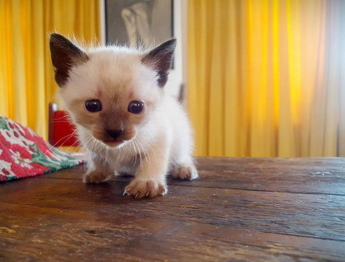 Domestic Animals One Animal Animal Themes Looking At Camera Cute No People Day Relaxing Small Kitty Cat Siamese Animal Siamese Cat The Week On EyeEm