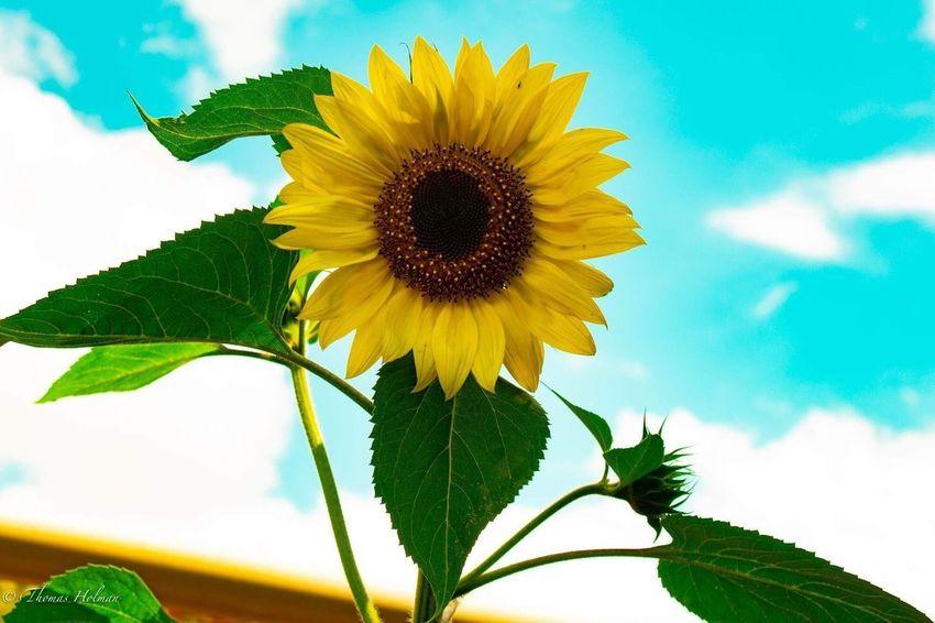 Sunflower on a sunny day Community Garden Plant Flower Growth Freshness Beauty In Nature Sunflower