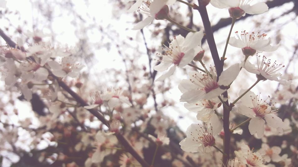 Tree Growth Nature Branch Beauty In Nature No People Focus On Foreground Blossom Close-up Flower Day Springtime Freshness Outdoors Cherry Tree Fragility Flower Head