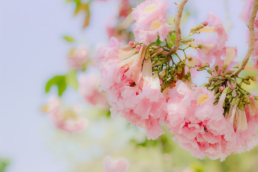 Today is tuesday. || day of pink Relaxing Flowers Thailand Thailand_allshots Pink Pink Flower Canon550D Canon