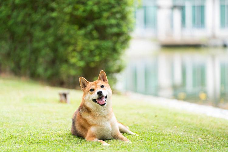 Pet lover. shiba inu dog breed in the park in the spring. shiba inu is a dog in the spitz group.