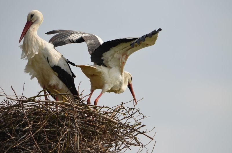 Animals In The Wild Beauty In Nature Bird Clear Sky Flight Lovebirds Nature Nest Nesting Birds Outdoors Perching Spread Wings Storks Wildlife Wings