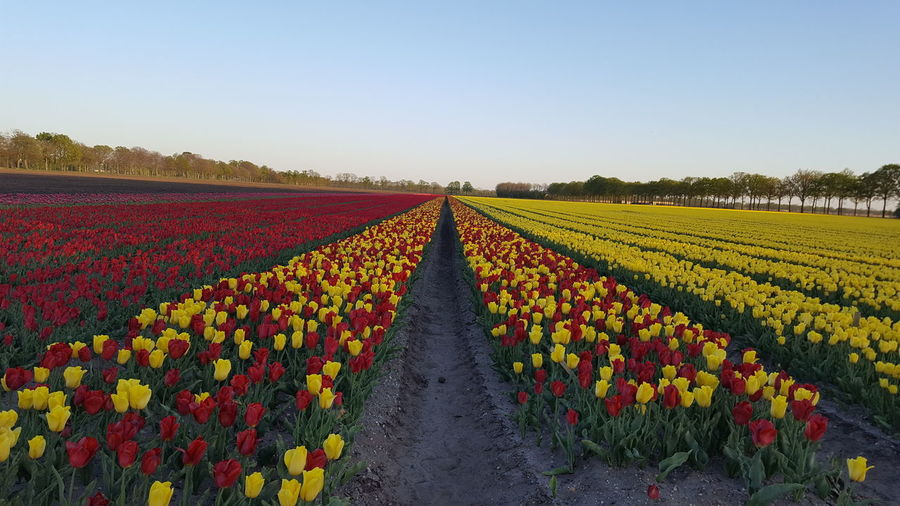 Scenic view of tulips on field against sky