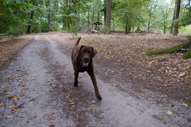 Labrador Brownlabrador EyeEm Selects Tree Pets Dog Portrait Sand
