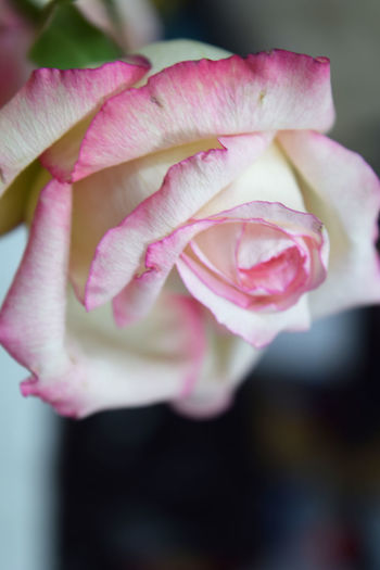A dangling pink rose bloom Blooming Blossom Botany Close-up Flower Flower Head Focus On Foreground Fragility Freshness Growth In Bloom New Life Petal Pink Pink Color Romance, Love, Concept,spring, Summer Softness Springtime Stem