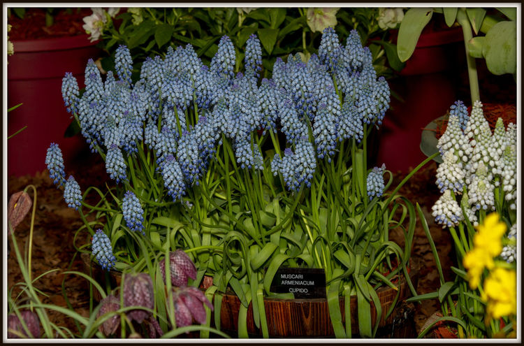 Grape Hyacinth EyeEm Nature Lover EyeEmNewHere Beauty In Nature Bunch Of Flowers Close-up Day Flower Flower Head Flowering Plant Fragility Freshness Grape Hyacinth Grape Hyacinths Muscari Green Color Growth Inflorescence Leaf Nature No People Outdoors Plant Plant Part Purple Vulnerability
