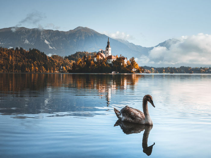 Swans swimming in lake against mountain range