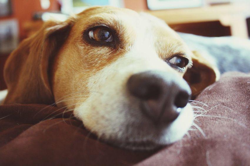 Dog Beagle Content