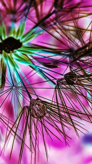 Pink Color Purple Multi Colored Flower No People Nature Beauty In Nature Fragility Outdoors Close-up Artistic Art Gallery Artistic Photography Art Is Everywhere Artofvisuals Happiness Dandelion