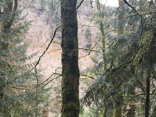 EyeEmNewHere Tree Nature Tree Trunk Tranquility Beauty In Nature Green Landscape The Black Forest