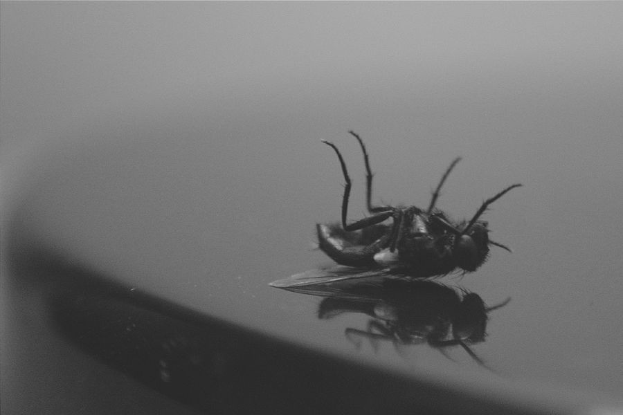 Fly Housefly Dead Bugs Insects  Reflection Blackandwhite Monochrome Close-up Macro Belly Up