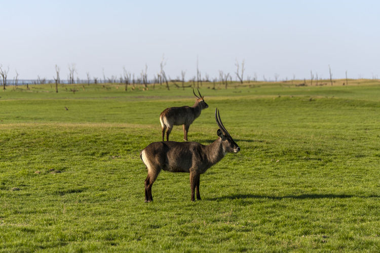 Deers standing on land