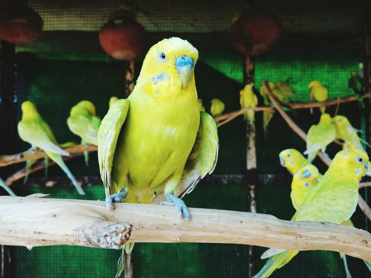 Parrot Parakeet Animal Wildlife Bird Budgerigar Cage Birdcage Feather  Yellow Green Color EyeEm Selects Pet Portraits ImPHOTO Imphotographer ImPrashant Impictures