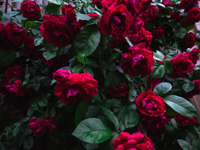 High angle view of pink roses