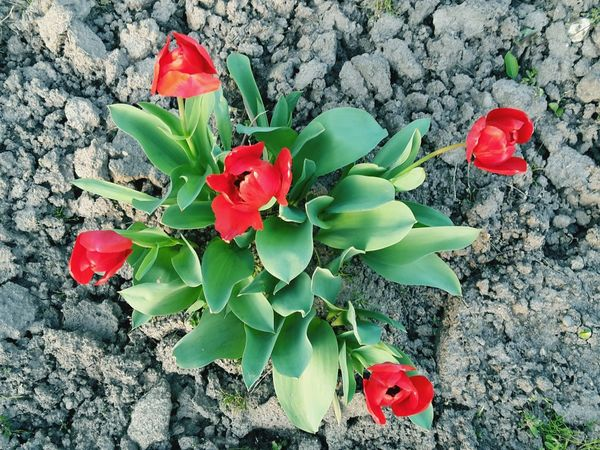Tulip Tulips🌷 Red Tulips No People Outdoors Plant Nature Flower Selective Focus