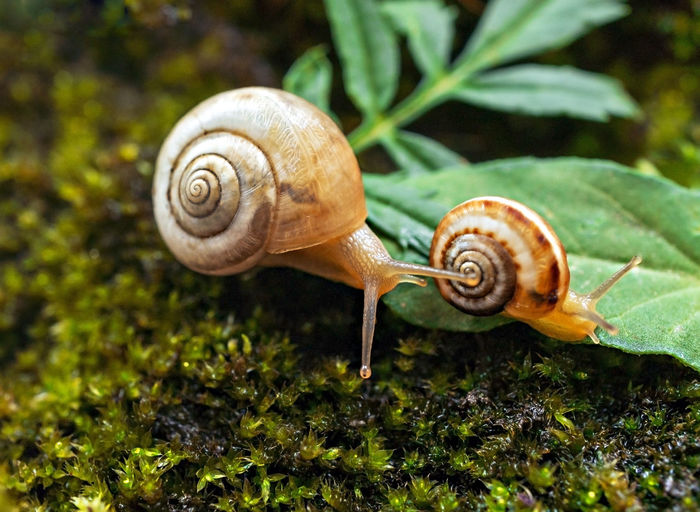 Two small grape snails close-up crawling in forest on moss and green leaves. natural background,