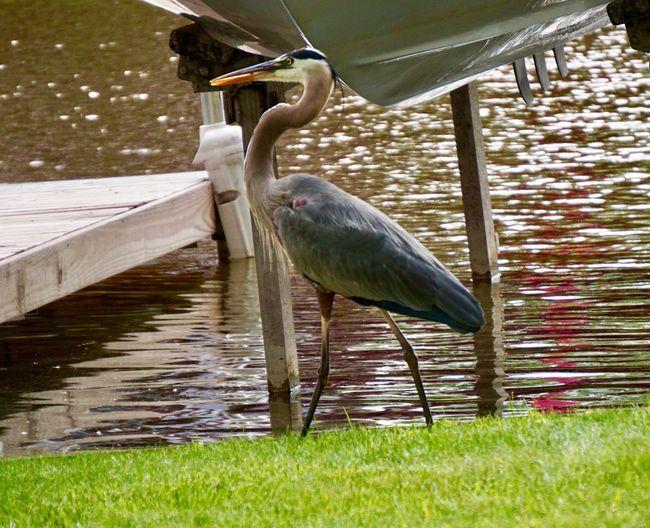 Blue Heron Bird