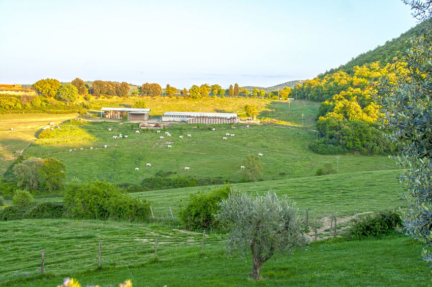 Tuscany Beauty In Nature Counntryside Day Environment Field Green Color Italy Land Landscape Nature No People Outdoors Plant Scenics - Nature Siena Sky Tranquil Scene Tree Val D'orcia Val Di Chiana
