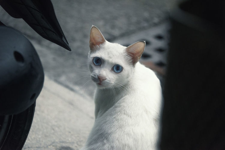 Beauty at the corner Kitty Alert Animal Themes Cat Close-up Day Domestic Animals Domestic Cat Feline Look Back Mammal No People One Animal Pets Portrait White