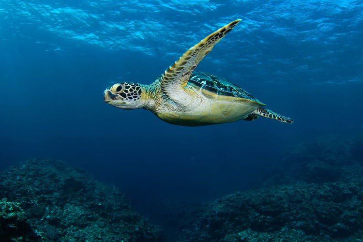 Flying Animal Wildlife Underwater Animals In The Wild Sea Animal Themes Animal Swimming Sea Life Water Marine UnderSea One Animal Turtle Reptile Vertebrate Sea Turtle Nature No People Coral