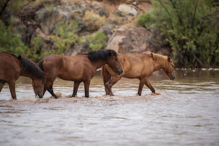 Horses walking in lake at forest