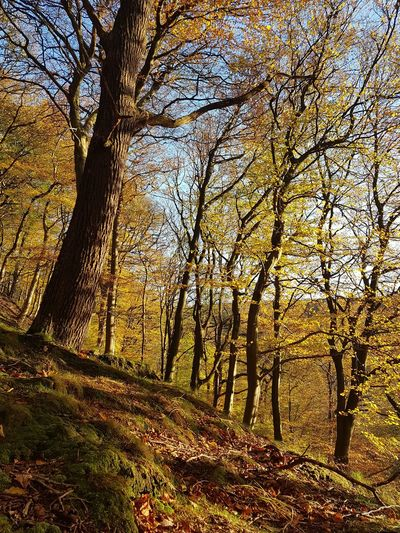 Tree Trunk Forest Yorkshire WoodLand Nature Low Angle View Tree Day No People Outdoors Beauty In Nature Sky Growth Branch Close-up Calderdale Eaves Wood Mytholm Tranquility Autumn Beauty In Nature
