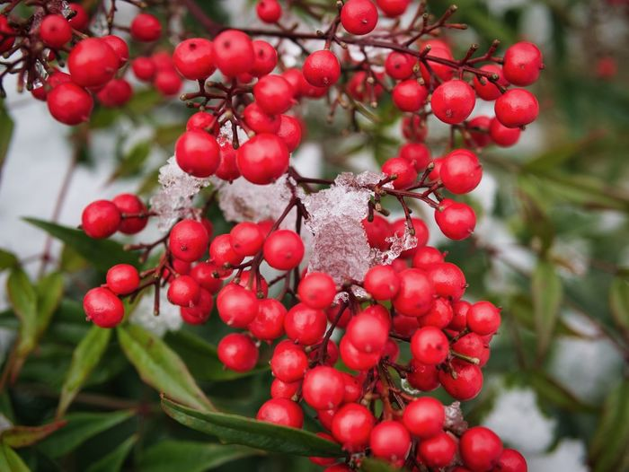 Last Snow Snow Winter Fruit Red Food And Drink Rowanberry Growth Berry Fruit Focus On Foreground Freshness Beauty In Nature