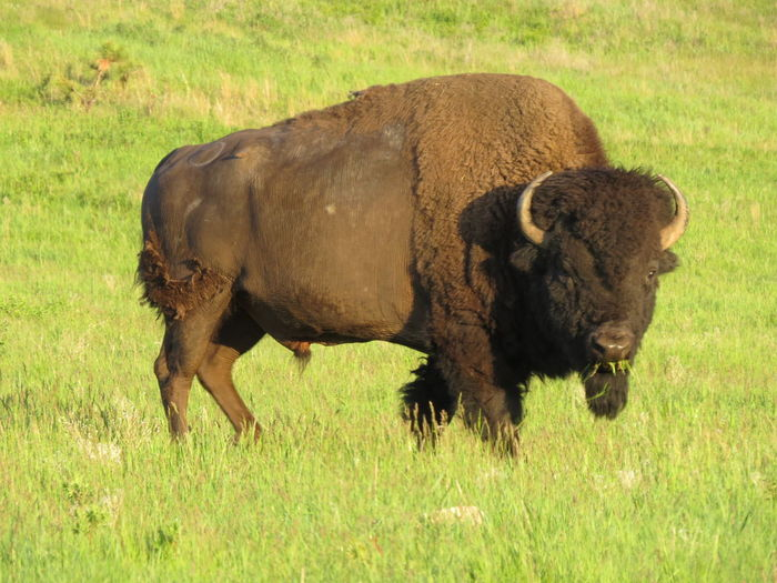 American Bison Animal Themes Grass