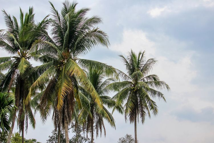Backgrounds Nature Coconut Palm Tree Tree Palm Tree Blue Social Issues Branch Tree Area Sky Cloud - Sky Travel Palm Leaf Coconut Leaves Kauai Date Palm Tree Dominican Republic Frond Tropical Tree Streaming Growing Leaf Vein Plant Life Blooming Rainforest Flower Head Woods Petal