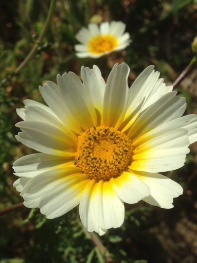 White And Yellow Beautiful Flower Beauty In Nature Blooming Close-up Day Flower Flower Head Flower Portugal Fragility Freshness Growth Nature No People Outdoors Petal Plant Pollen Stamen Yellow