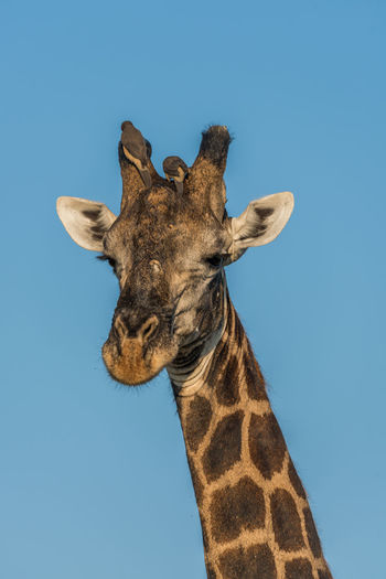 Animal Body Part Animal Head  Beauty In Nature Blue Clear Sky Close-up Day Giraffe Giraffes Low Angle View Mammal Natural Pattern Nature No People Outdoors Part Of Sky Sunny