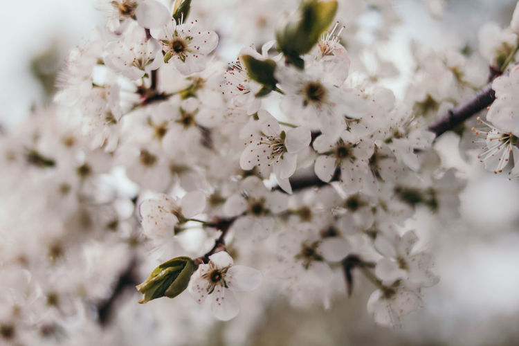 Flowering Plant Plant Flower Growth Freshness Fragility Vulnerability  Beauty In Nature Springtime Selective Focus Close-up Tree Blossom Branch No People Nature White Color Day Petal Inflorescence Flower Head Cherry Blossom Pollen Cherry Tree Bunch Of Flowers Spring Springtime Decadence