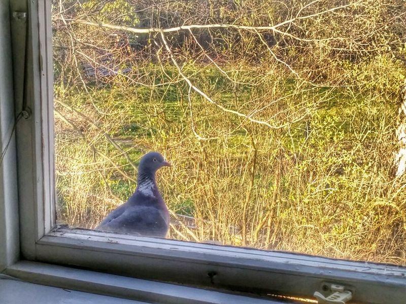 Vad glor du på, har du aldrig sett en duva? Pigeon