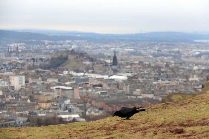 Animal Themes Animals In The Wild Bird Building Exterior Castle City Cityscape Edinburgh View Edingburgh Castle Landscape No People Old Town One Animal Outdoors Raven Raven Bird Scottish Beauty Scottish Highlands Sky Travel Travel Destinations Travel Photography View View From Above