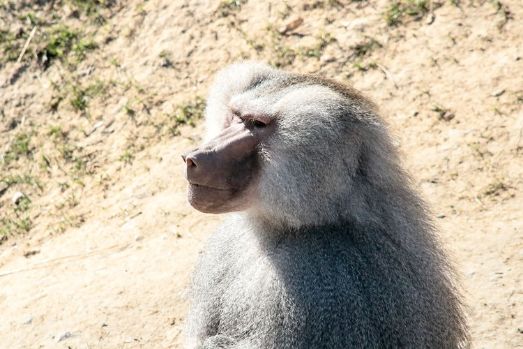 One Animal Mammal Animals In The Wild Animal Wildlife Animal Themes Day No People Sunlight Nature Outdoors Baboon Close-up Baboon Portrait