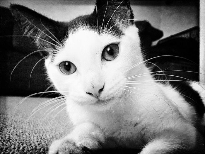 Domestic Cat Pets Domestic Animals One Animal Animal Themes Mammal Feline Whisker Cat Looking At Camera Indoors  Portrait Sitting Close-up No People Day