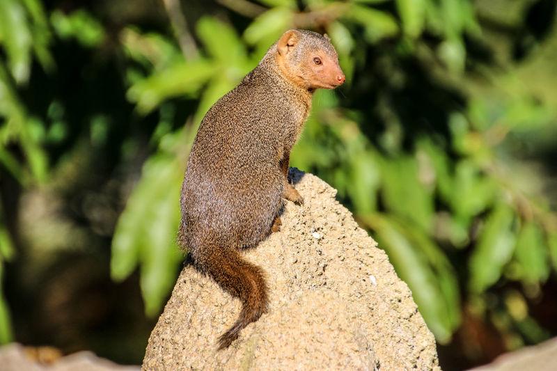 Dwarf Mongoose Sitting On Rock
