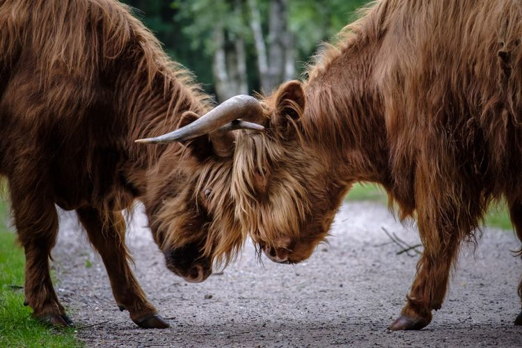Highland cattle fighting on road