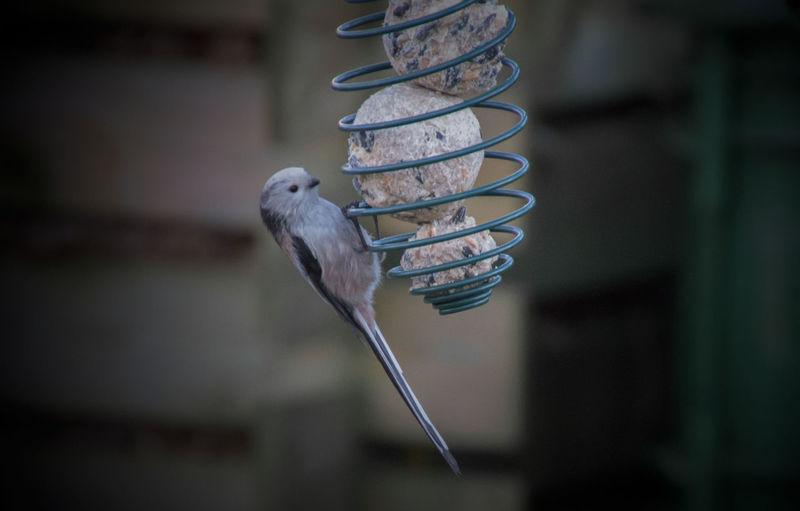 Close-up of bird perching hanging outdoors