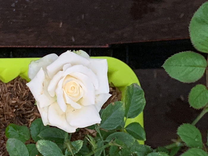 High angle view of rose roses on plant