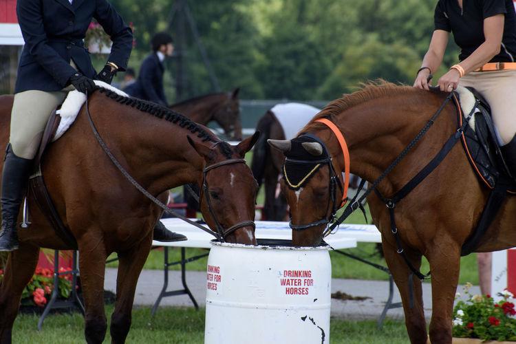 Jockeys Sitting On Brown Horses Drinking Water From Barrel